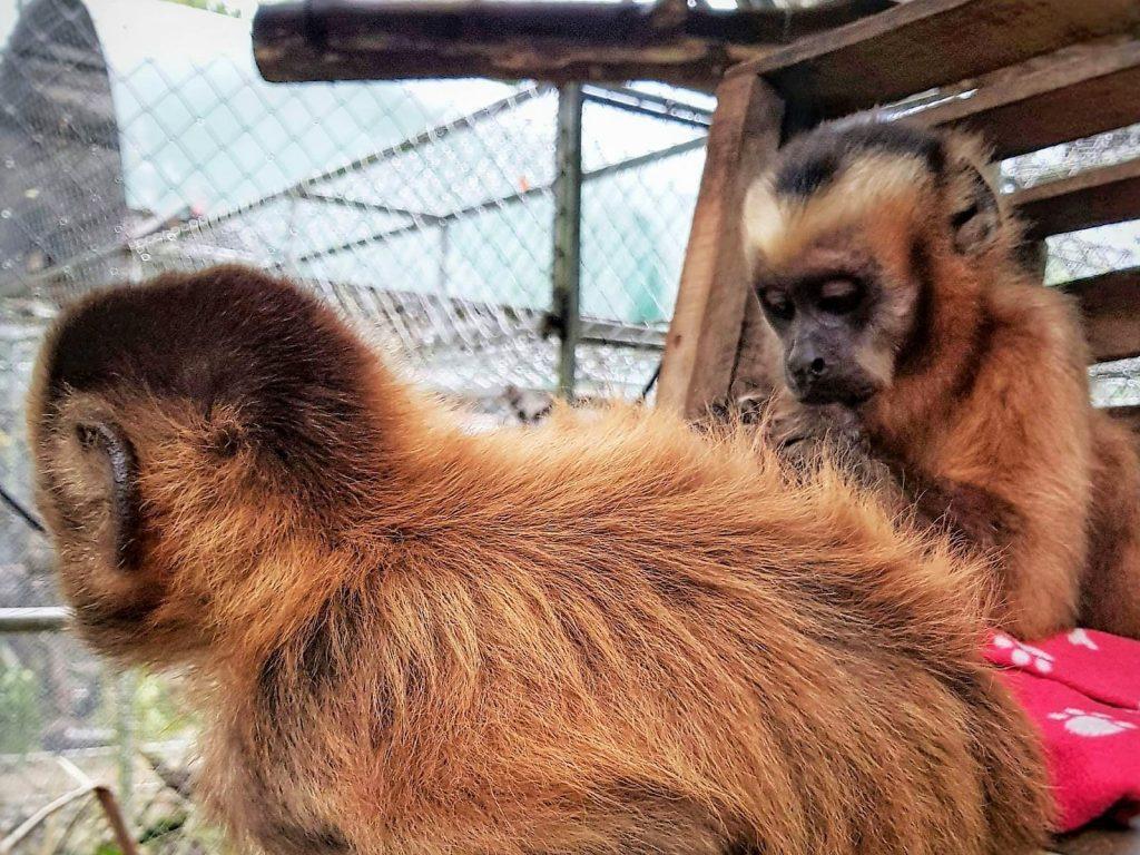 Newton y Sidum, dos monos capuchinos que son parte del programa de socializacion en Parque Machia, se limpian entre ellos