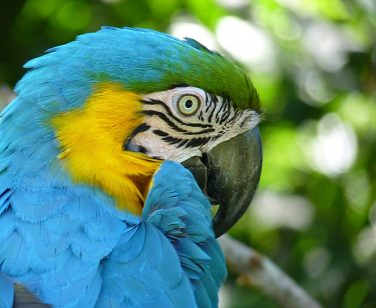 Closeup of blue-and-yellow macaw at Parque Machía