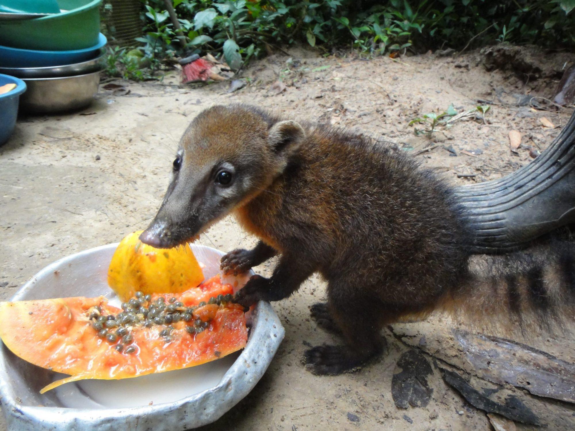 Un coatí bebé disfruta de una papaya en Parque Machía; Créditos de la foto: Leeann Grundhoefer