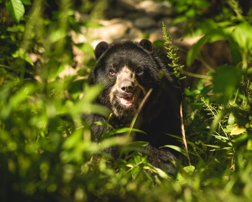 Balu, a spectacled bear, walks through Parque Machia; Photo Credit: Colm Moore