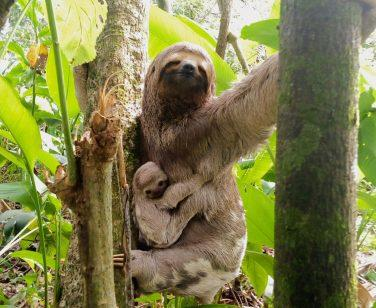 Brown-throated sloth hangs from tree with infant at Parque Ambue Ari; Photo Credit: Juan Manuel Medina