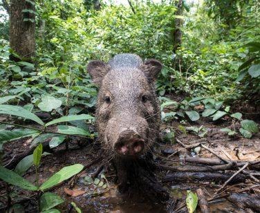 A collared peccary walks through Parque Ambue Ari; Photo Credit: Víctor Fernández