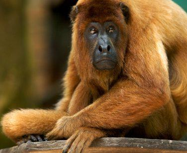 Faustino, a howler monkey at Parque Ambue Ari
