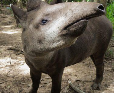 Herbie, a lowland tapir, looks upwards at Parque Ambue Ari; Photo Credit: Eugenia Pacitti