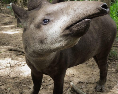 Titus, a lowland tapir, looks upwards at Parque Ambue Ari; Photo Credit: Eugenia Pacitti