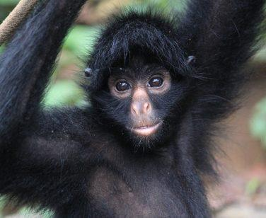 Imilita, a female spider monkey, climbing at Parque Machía; Photo Credit: Ben Lybarger