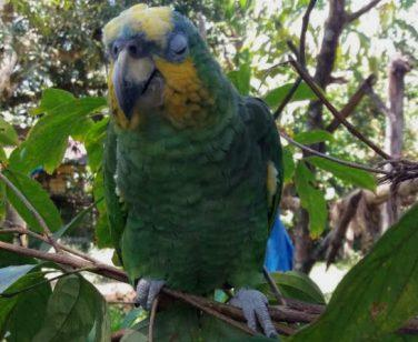 Lucas, an orange-winged amazon, sits perched at Parque Machía; Photo Credit: Maria Paula Velez