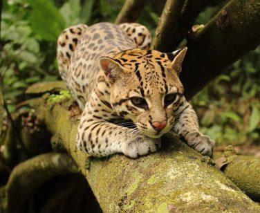 Lucinda, a female ocelot, rests on a log at Parque Ambue Ari; Photo Credit: Ella Wood