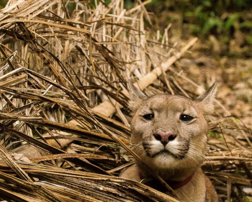 Luna pokes her head out of palm fronds at Parque Jacj Cuisi; Photo Credit: Gaspard Renault