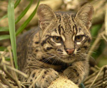 Mariano, a Geoffroy's cat, resting at Parque Ambue Ari; Photo Credit: Sylvia Reiter