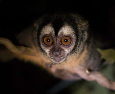 An Azara's night monkey stares ahead at Parque Ambue Ari