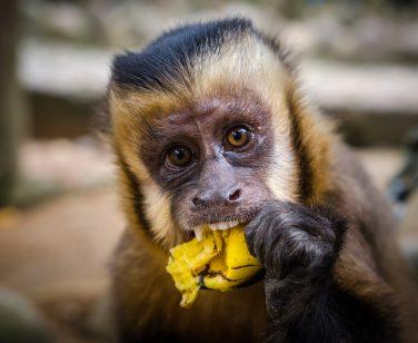 Pepa, a capuchin monkey at Parque Machia, eats a banana; Photo Credit: Guillermo Armero