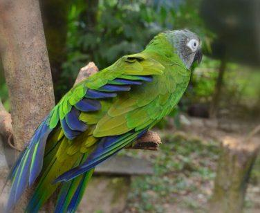 Pirata, a dusky-headed parakeet, sits perched at Parque Machía; Photo Credit: Jhosy Navarro