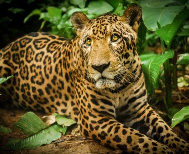 "Jaguarupi (""Rupi""), a male jaguar, rests during a walk at Parque Ambue Ari; Photo Credit: Ollie Bartlett"