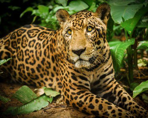 """Jaguarupi (""""Rupi""""), a male jaguar, rests during a walk at Parque Ambue Ari; Photo Credit: Ollie Bartlett"""