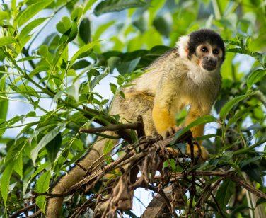 A wild squirrel monkey in the trees at Parque Machía