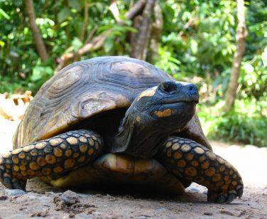 A yellow-footed tortoise walking at Parque Machía