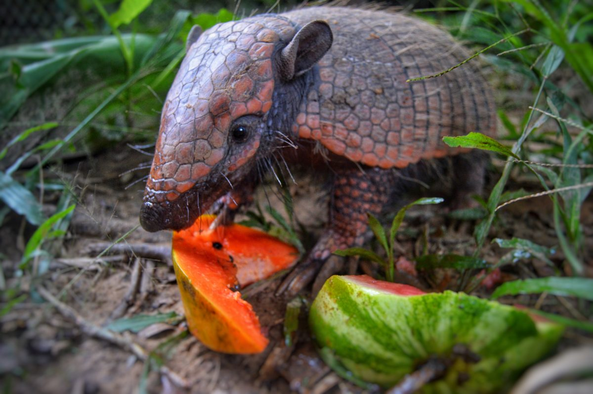 Guadalupe a rescued armadillo from the forest fires of 2019 in the Amazonas
