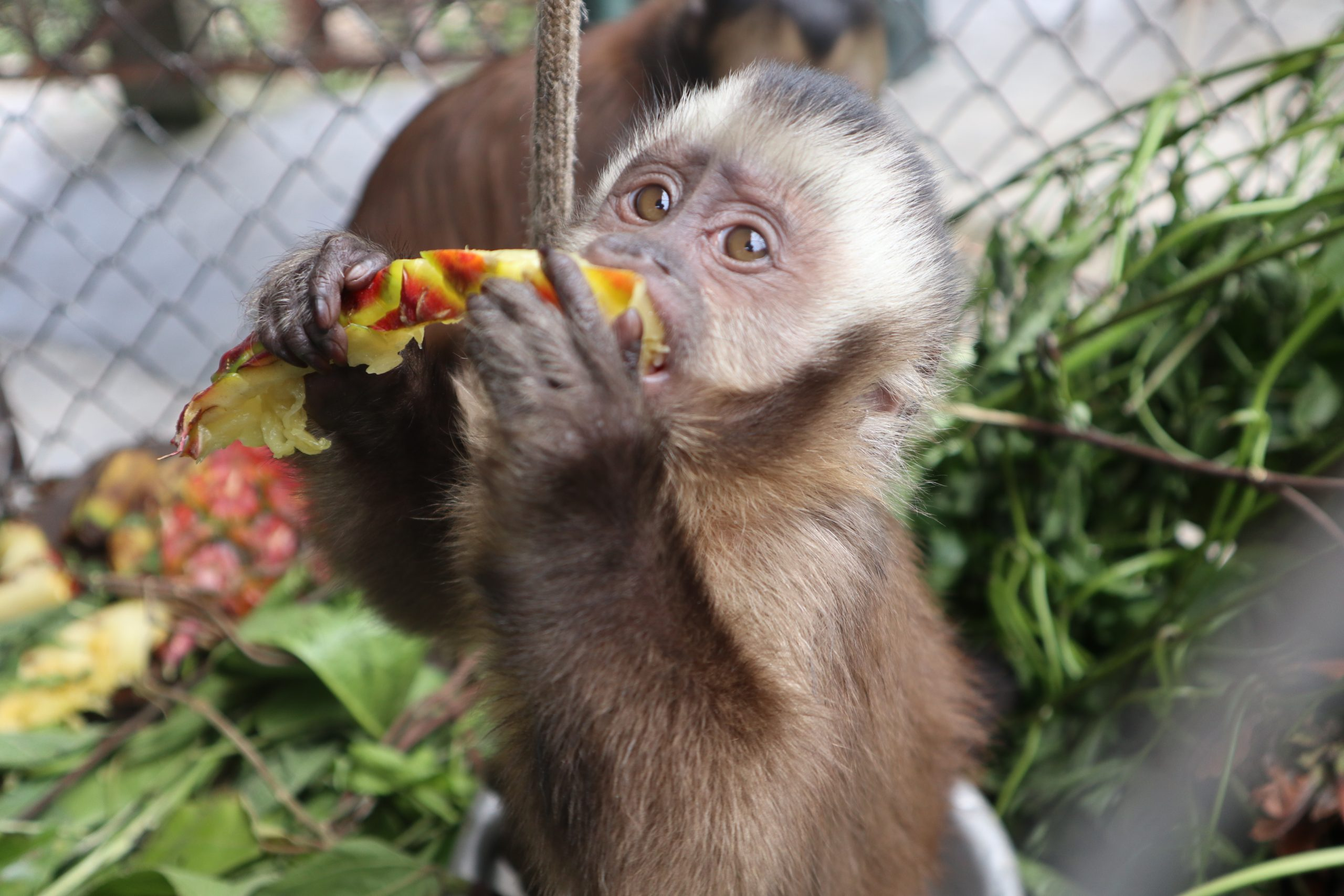 A capuchin monkey enjoys some pineapple for lunch at Parque Machía