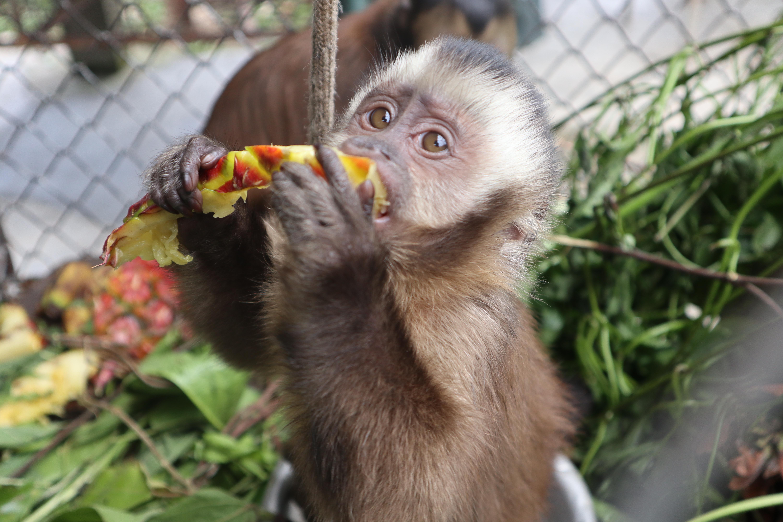 Un mono capuchino disfruta pina para su almuerzo en Parque Machía