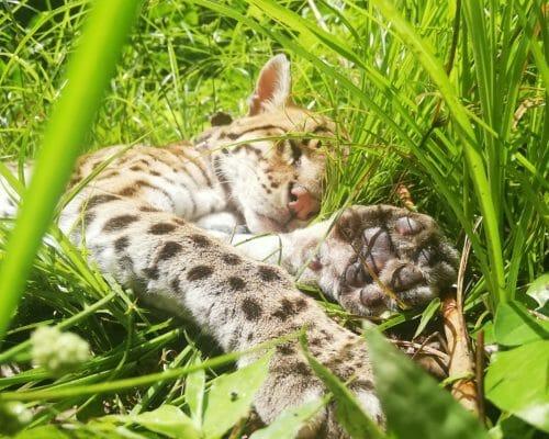Lazy Cat 2