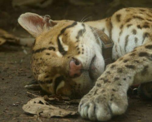 Lazy-Cat (6) - Ocelot _ Ocelote - Olivia Bayne