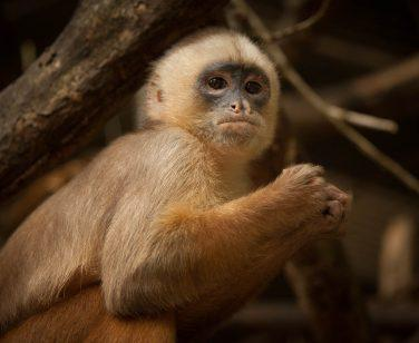 A Humboldt's white-fronted capuchin at Parque Machía; Photo Credit: Tim Watters