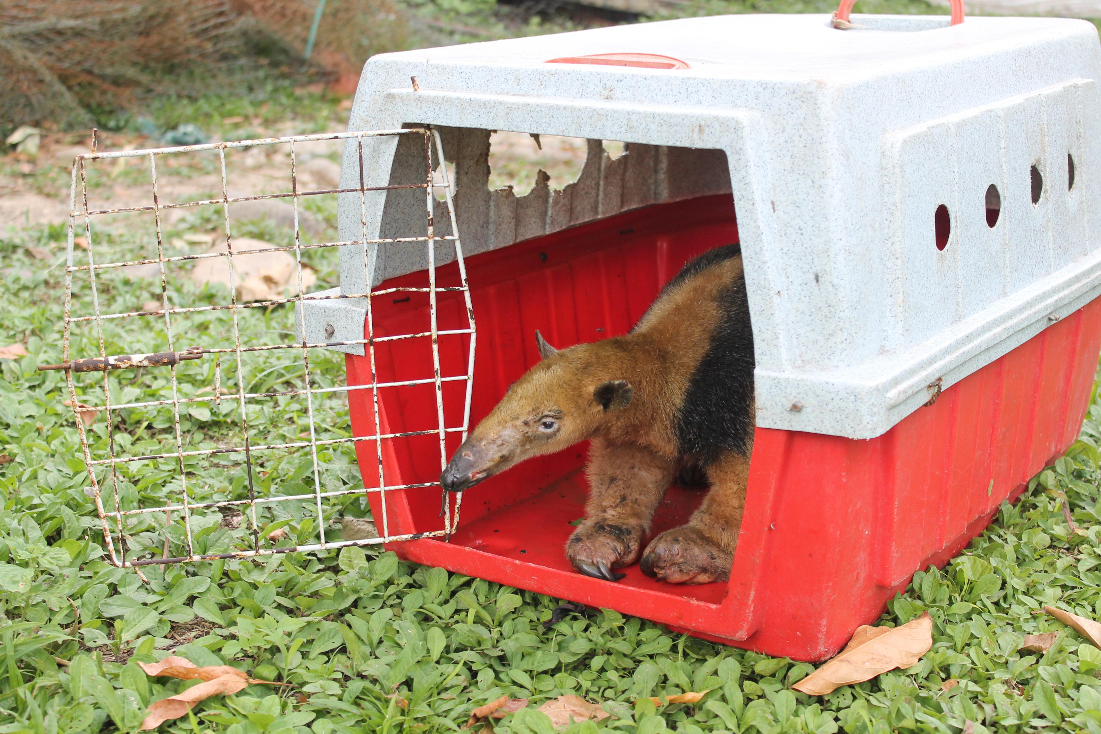 Un Oso tamandua siendo liberado.