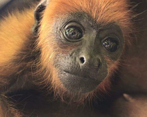baby-howler-monkey-ambue-ari-1