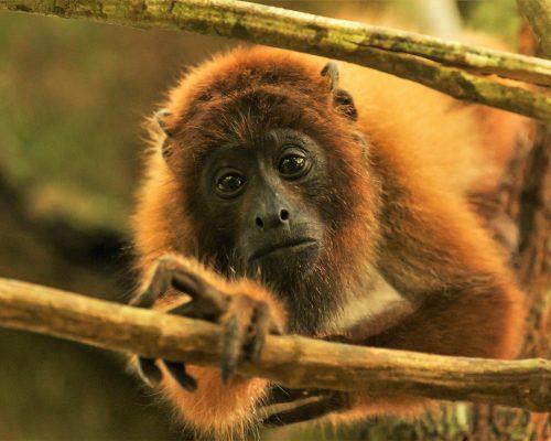 baby-howler-monkey-ambue-ari-2