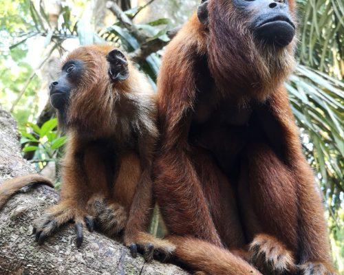 baby-howler-monkey-ambue-ari-4