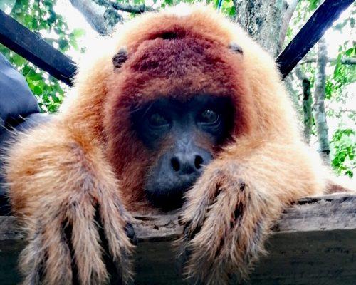 biton-howler-monkey-ambue-ari-3