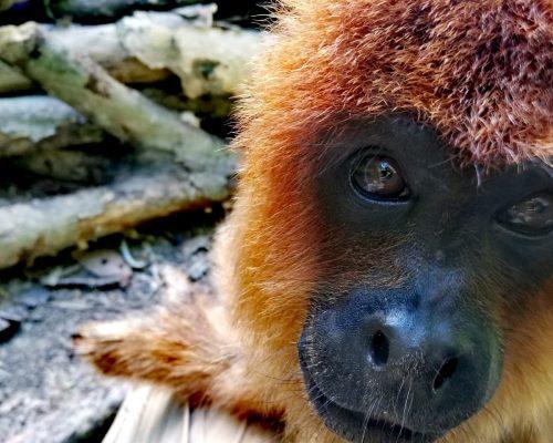 biton-howler-monkey-ambue-ari-4
