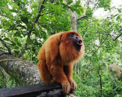 biton-howler-monkey-ambue-ari-howling