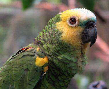 A blue-fronted amazon at Parque Machía