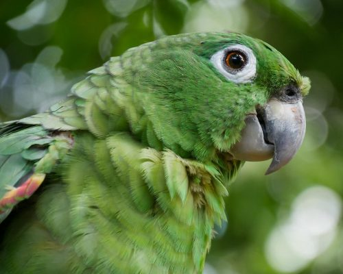 Carolina, amazona farinosa. Foto por: Tiffany Grobert