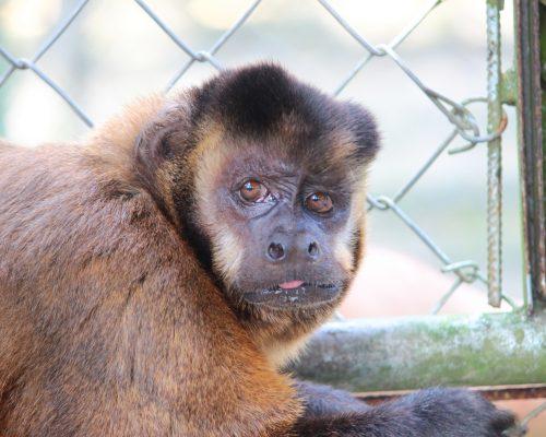 Chuky, mono capuchino. Foto por: Claire Gilant