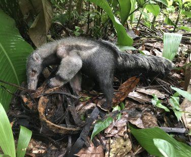 A giant anteater searches for ants at Parque Ambue Ari