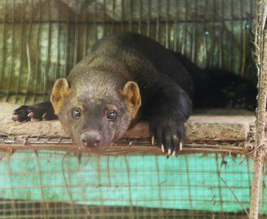Iván, a tayra, rests in his enclosure at Parque Machia