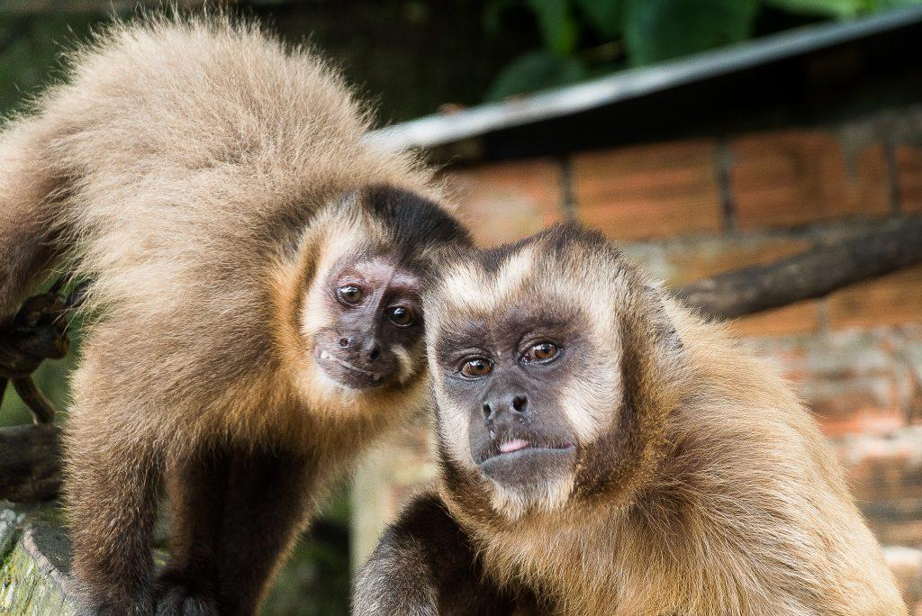 Ivonne and Erik, two capuchin monkeys at Parque Machia, pose for a photo; Photo Credit: Gaspard Renault