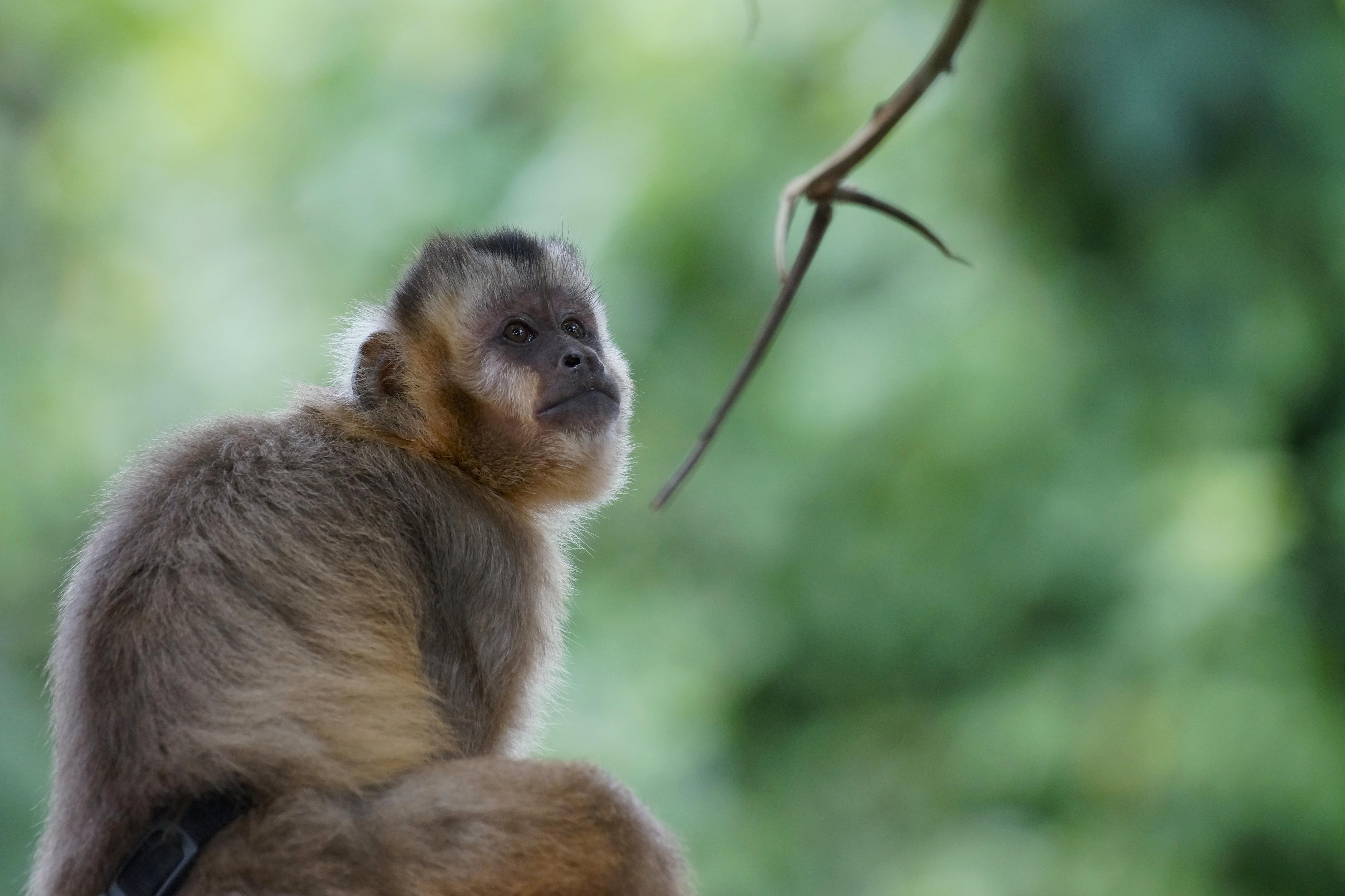 Un mono capuchino liberado con éxito en Parque Machía
