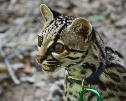 Río the margay at Parque Jacj Cuisi