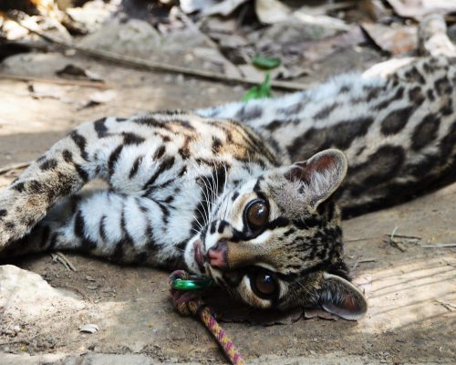 Río the margay at Parque Ambue Ari. Photo Credit: María Isabel Pereira