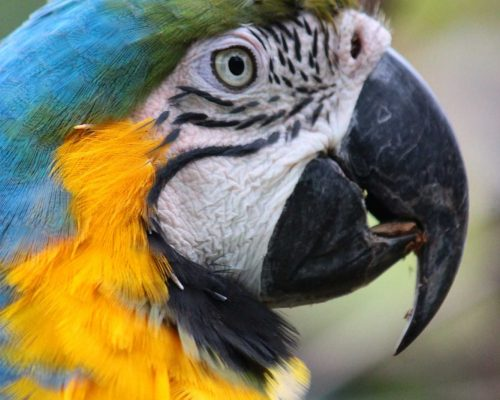 Monchito, a blue-and-yellow macaw; Photo Credit: Claire Gilant