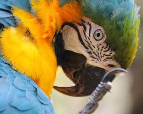 alt Monchito, a blue-and-yellow macaw; Photo Credit: Claire Gilant