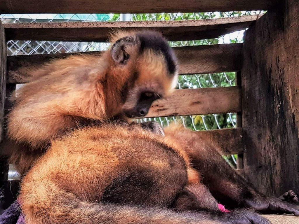 Newton and Sidum, two capuchin monkeys who part of Parque Machia's socialisation programme, groom each other