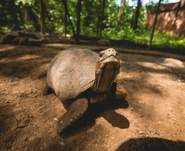 A red-footed tortoise at Parque Machía; Photo Credit: Colm Moore