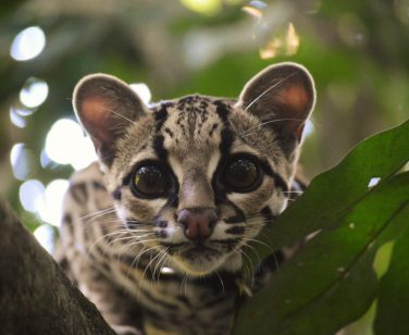 Rio, a margay, peers through a tree at Parque Jacj Cuisi