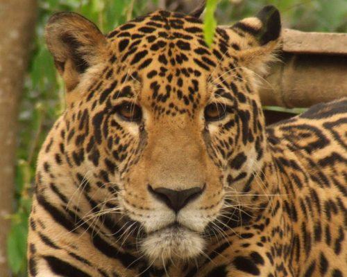 rupi-jaguar-ambue-ari
