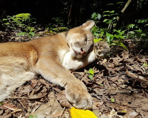 Sonko the puma enjoying the sun at Parque Jacj Cuisi
